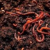 Núcleo De Lombrices Californianas Para Compost.envio Gratis*