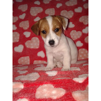 Cachorras Jack Russell Terrier