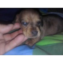 Hermoso Cachorro Salchicha Mini Macho Arlequin Marron