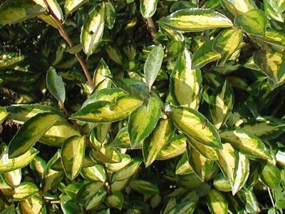 Arbusto planta cerco vivo especie a eleccion 189 b0hr2 - Especies de arbustos ...