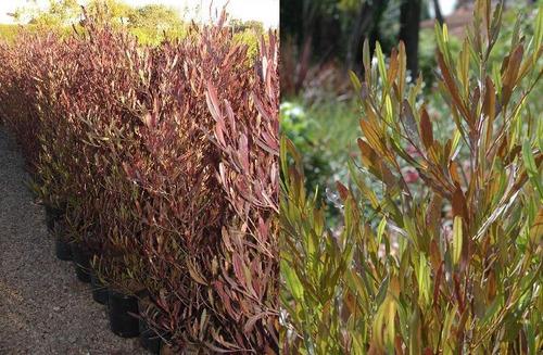 El aviso ha expirado 520331555 precio d argentina - Especies de arbustos ...