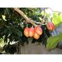 Plantas De Tomate De Arbol Listas Para Transplantar La Plata