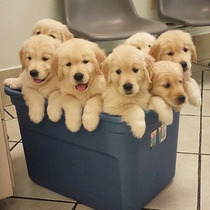 Golden Retriever Cach Bellos !!!!!!!!!!!