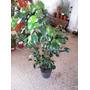 Planta Ficus B. Hoja Negra