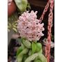 Hoya Carnosa (flor De Cera) En Maceta Plástica