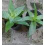 Aloe Vera Planta Sanadora