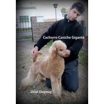 Ultimo Cachorro Caniche Toy Gigante Macho Con Papeles