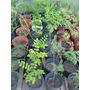 Plantines Pre Bonsai Todas Las Especies Desde $ 20- No Envio