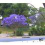 Jacarandá - Jacaranda - Tupí - Árbol Nativo