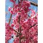 Cerezo Sakura, Cerezo Japones Vivero Iris