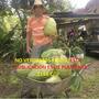 Plantines De Guanabana Verdaderagraviola Frutales Tropicales