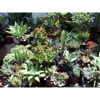 Crasas. Para Souvenir. Mucha Variedades, Cactus!!