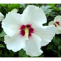 Hibiscus Syriacus Red Heart ( Rosa China)