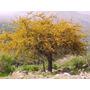 Aromo Espinillo Acacia Caven Semillas Para Cultivo Y Bonsai