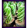 Cactus Cereus Spiralis