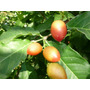 Guarana Peruano Plantines Frutales Exotico Bunchosia Argent