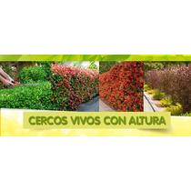 Plantas Para Cercos Vivos Precios Exclusivos Para Viveristas
