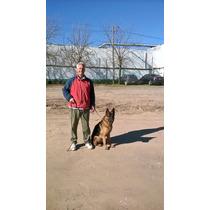 Hermoso Macho De 2 Años Con Adiestramiento Basico-lobos.