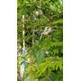 Enredadera Nativa Vernonia Escorpioides. Autóctona-