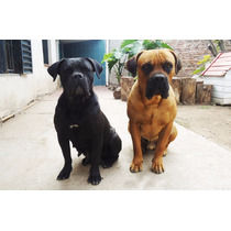 Cachorros Cane Corso Con Fca