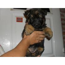 Cachorros Ovejero Aleman Padres Poa-garantia Escrita X 1 Año