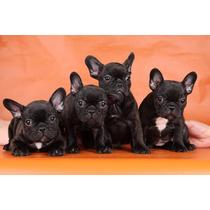 Bulldog Francés Cachorros F.c.a Excelentes