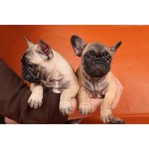 Bulldog Francés Excelente Fca Color Fawn Hembra
