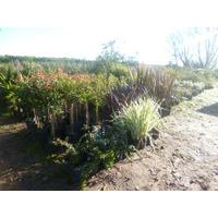 Plantas Para Cercos Vivo -