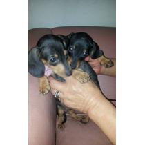 Cachorros Salchichas Mini Solidos Negro Y Fuego Y Color Marr