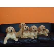 Cachorros Golden Retriever Puros