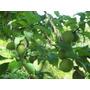 Ciruelo De Ume ,chino,arbol Y Frutas