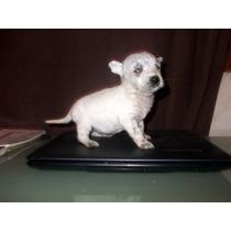 Chihuahuas Con Pincher Hermosos Super Mini!!!