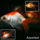 Goldfish Chico Surtido!!!!! Elegi Mundo Acuatico