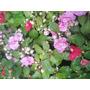 Alegria Dobles Cajon X 10 Plantines. Vivero La Casita