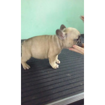Hermosos Cachorros Bull Dog Frances Con Pedigree Excelente