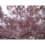 Planta Cerezo Floral Sakura