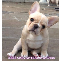 Unicos Bulldog Frances! Hembras Fawn Y Pied Fawn O Negro
