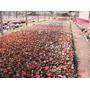 Plantines- Flor De Azúcar Nº12-(10 Uni) $130