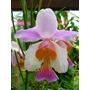 Orquidea Vanda Tere