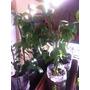 Planta De Pitanga. Planta De Frutos Exoticos