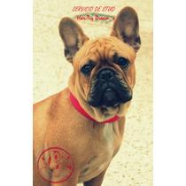 Bulldog Frances Red Fawn Servicio De Stud Excelente Pedigree