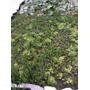 Plantas Acuaticas, Repollito, Acordeon, Helechito, Camalote