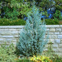 Pino Juniperus Scopulorum Blue Heaven 1.20 Mt Aprox
