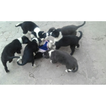 Ofertaaaa Ultimos Cachorros Border Collie