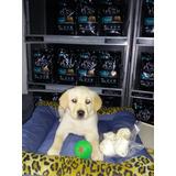 Cachorros Labradores Con Papeles