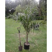 Palmera Pindó - 2.5 M De Altura - Cañuelas
