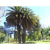 Plantines De Palmera Phoenix Canariensis Fenix Canarias