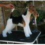 Fox Terrier Wire, Pedigri Can Club Argentino, Ultimos Dos