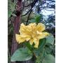 Rosa China Doble Amarilla Hibiscus