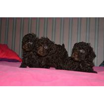 Hermosos Cachorros Hembra De Mini Toy Apricot Y Negra